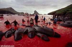 mattanza-balene-delfini-isole-faroe-10