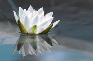 i fiori più belli: fior di loto