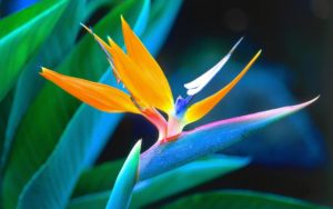 i fiori più belli: bird of pardise