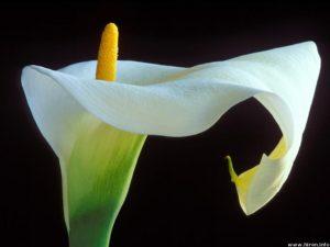 i fiori più belli: calla lily