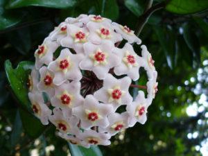 i fiori più belli: Hoya Carnosa