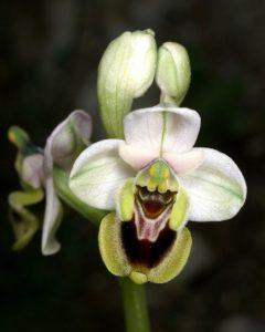 i fiori più belli: Ophrys tenthredinifera