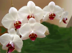i fiori più belli: Orchidea