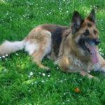 I cani più belli cane lupo tedesco