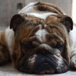 I cani più belli bulldog inglese
