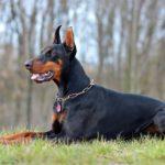 I cani più belli doberman