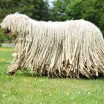 I cani più belli komondor