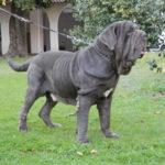 I cani più belli mastino napoletano