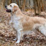 I cani più belli Golden Retriever
