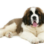 I cani più belli san bernardo