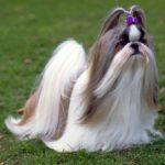 I cani più belli shih tzu