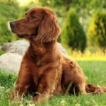 I cani più belli setter irlandese