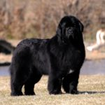 I cani più belli terranova