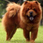 I cani più belli chow chow