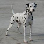 I cani più belli dalmata