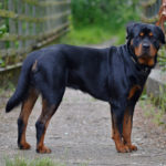 I cani più belli rottweiler