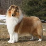 I cani più belli rough collie