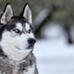 I cani più belli siberian husky
