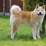 I cani più belli akita