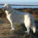 I cani più belli pastore maremmano