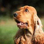 I cani più belli cocker