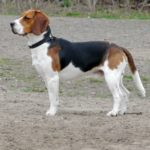 I cani più belli Beagle