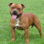 I cani più belli Staffordshire Bull Terrier