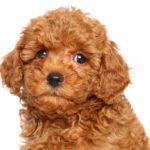 i cani più belli barbone