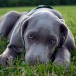 i cani più belli bracco di weimar