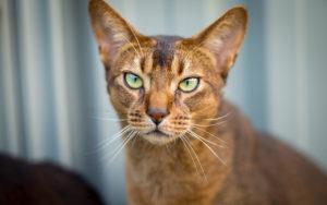 gatti più belli: abissino