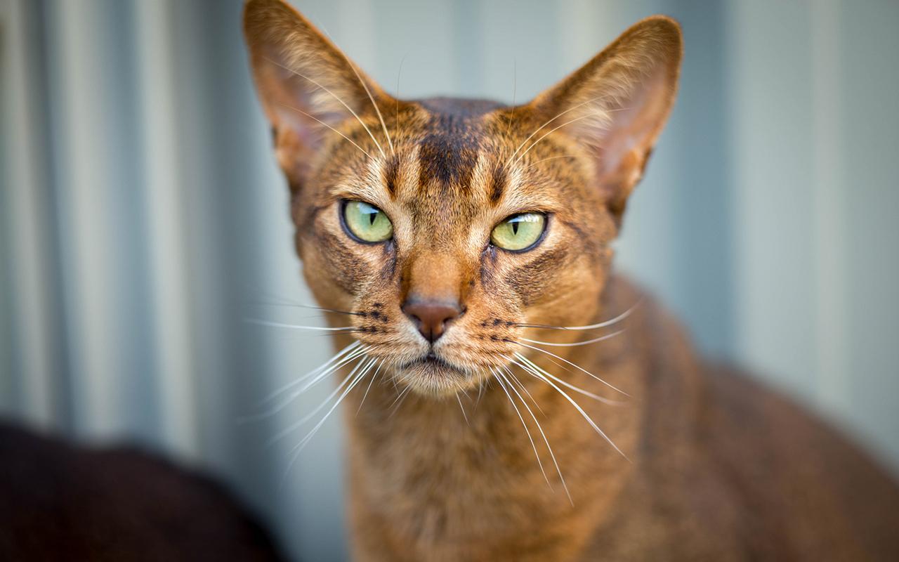 I 23 Gatti Più Belli Del Mondo Razze Feline Pescinicom
