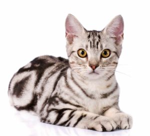 gatti più belli: american shorthair