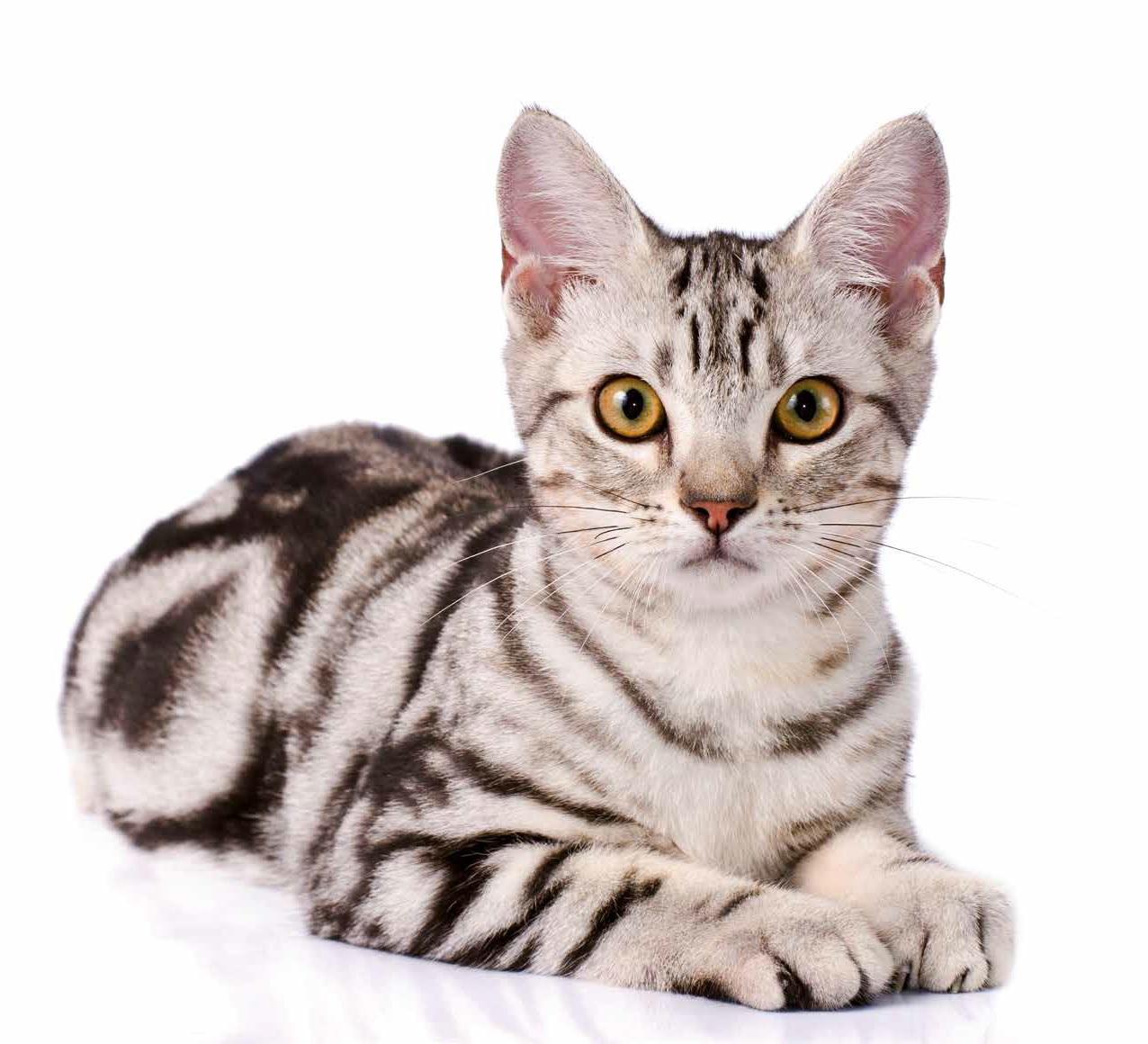 gatti più belli american shorthair