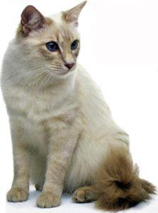 gatti più belli: balinese
