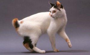 gatti più belli: bobtail giapponese
