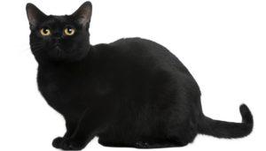 gatti più belli: bombay