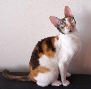 gatti più belli: cornish rex
