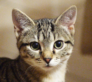 gatti più belli: europeo