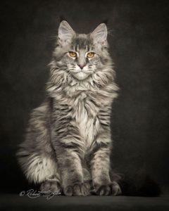 gatti più belli: maine coon