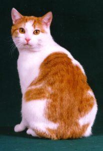 gatti più belli: manx