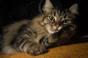 gatti più belli: norvegese