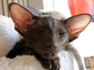 gatti più belli: orientale