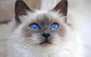 gatti più belli: sacro di birmania