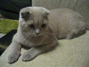 gatti più belli: scottish fold