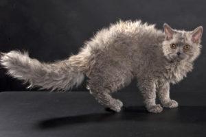gatti più belli: selkirk rex