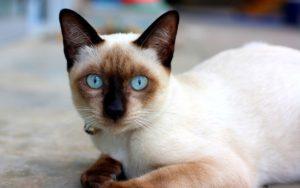 gatti più belli: siamese