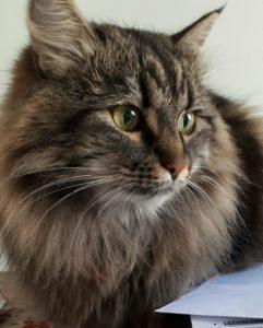 gatti più belli: siberiano