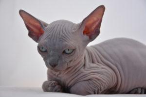 gatti più belli: spynx