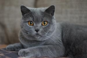 gatti più belli: certosino