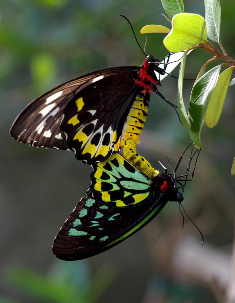 FARFALLE PIU BELLE DEL MONDO ornithoptera alexandrae
